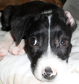 Border Collie/Labrador Retriever Mix Dog for adoption in San Antonio, Texas - Scooter