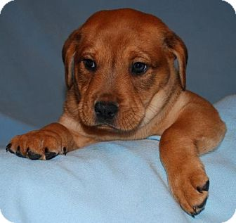 Labrador Retriever/Shar Pei Mix Puppy for adoption in House Springs, Missouri - Harley