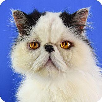 Persian Cat for adoption in Carencro, Louisiana - Bobo