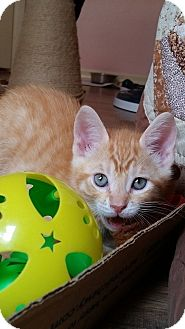 Domestic Shorthair Kitten for adoption in Tampa, Florida - Little Dude