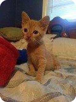 Domestic Shorthair Kitten for adoption in Hampton, Virginia - JOLLY