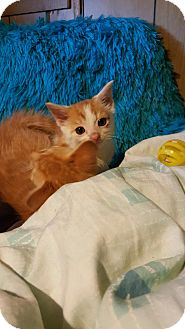 Domestic Shorthair Kitten for adoption in Monroe, New Jersey - Patches