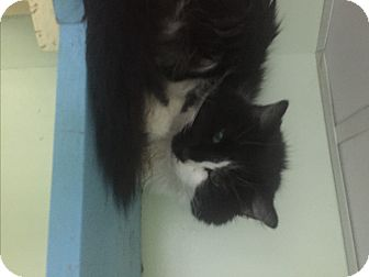 Domestic Longhair Cat for adoption in Indianapolis, Indiana - Misty
