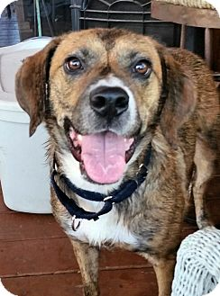 Beagle/Boxer Mix Dog for adoption in St. Charles, Illinois - Betsy