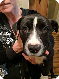 American Pit Bull Terrier/American Staffordshire Terrier Mix Puppy for adoption in Covington, Tennessee - Peppa