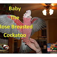 """Adopt A Pet :: """"Baby"""" The Gala / Rose Breaste - Vancouver, WA"""