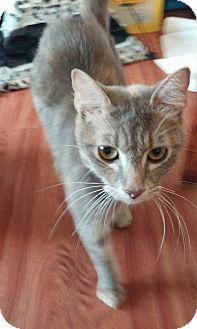Domestic Shorthair Cat for adoption in New Smyrna Beach, Florida - Iris