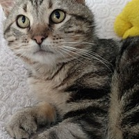 Domestic Shorthair Cat for adoption in St. Louis, Missouri - Rumble
