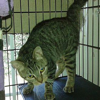 Domestic Shorthair Cat for adoption in Lexington, Missouri - Tigger