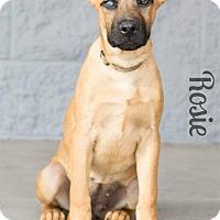 Adopt A Pet :: ROSETTA - Modesto, CA