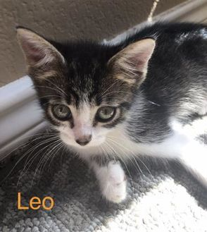 Domestic Shorthair/Domestic Shorthair Mix Cat for adoption in Garland, Texas - Leo