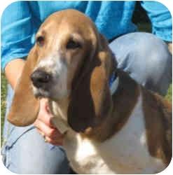 Basset Hound Dog for adoption in Folsom, Louisiana - Marcy