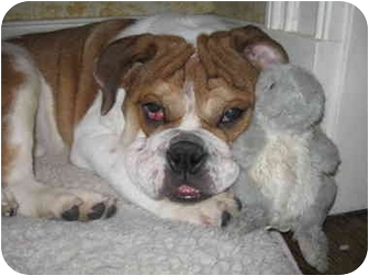 English Bulldog Puppy for adoption in Park Ridge, Illinois - Sally May *Adoption Pending*