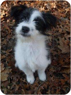 Terrier (Unknown Type, Small)/Terrier (Unknown Type, Small) Mix Puppy for adoption in Foster, Rhode Island - Nicole