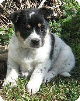 Australian Shepherd Mix Puppy for adoption in Spring Valley, New York - Flower