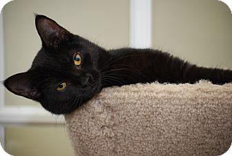 Domestic Shorthair Kitten for adoption in Trevose, Pennsylvania - Pheobe