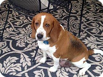 Beagle Mix Dog for adoption in Phoenix, Arizona - Natasha