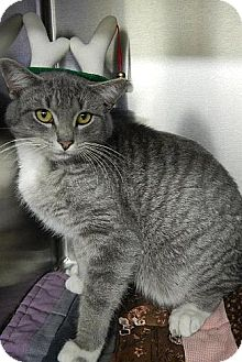 Domestic Shorthair Cat for adoption in Hagerstown, Maryland - Silver (!$150 Adoption Fee!)