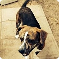 Adopt A Pet :: Gumball - Phoenix, AZ