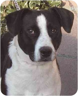 Border Collie/Labrador Retriever Mix Dog for adoption in Rolling Hills Estates, California - Josh