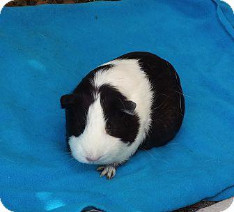 Guinea Pig for adoption in Fullerton, California - Patty