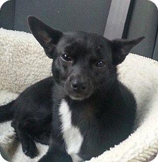 Chihuahua Mix Dog for adoption in Ridgecrest, California - Wyatt