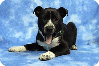 Labrador Retriever Mix Puppy for adoption in Westminster, Colorado - Callie