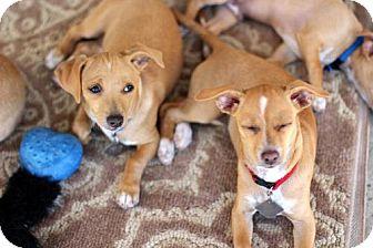 Chihuahua Mix Puppy for adoption in El Cajon, California - Rocky-Adoption Pending