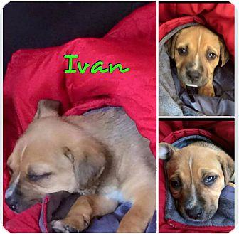 German Shepherd Dog Mix Puppy for adoption in Garden City, Michigan - Ivan