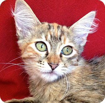 Oriental Kitten for adoption in La Jolla, California - Cecily