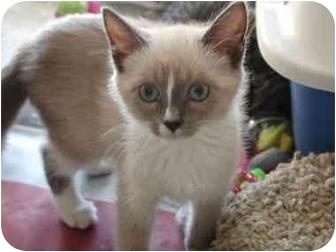 Snowshoe Kitten for adoption in Fort Lauderdale, Florida - Opal