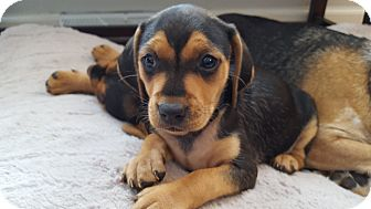 Beagle Mix Puppy for adoption in Newark, Delaware - Leia