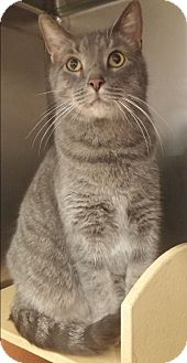 Domestic Shorthair Cat for adoption in Hillside, Illinois - Jack-BIG & SWEET