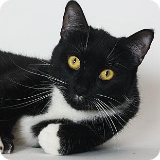 Domestic Shorthair Cat for adoption in Stockton, California - Gracie