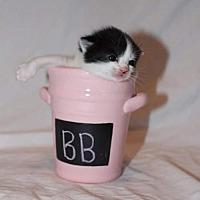 Adopt A Pet :: BB - Fredericksburg, VA