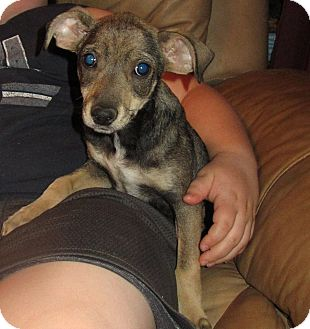 Chihuahua/Miniature Pinscher Mix Puppy for adoption in Spring Valley, New York - Rosebud