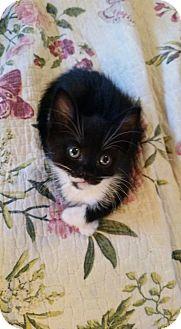 Domestic Mediumhair Kitten for adoption in Ocala, Florida - Reid