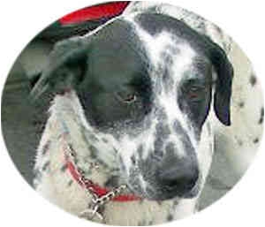 Dalmatian/Border Collie Mix Dog for adoption in Mandeville Canyon, California - Paloma
