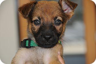 German Shepherd Dog/Labrador Retriever Mix Puppy for adoption in Agoura Hills, California - Dasher