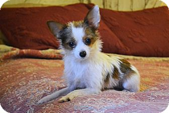 Chihuahua/Pomeranian Mix Puppy for adoption in Southington, Connecticut - Penny