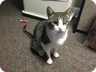 Domestic Shorthair Cat for adoption in Sterling Heights, Michigan - Henry