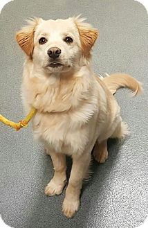Golden Retriever/Border Collie Mix Dog for adoption in Neffs, Pennsylvania - Maggie