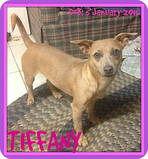 Terrier (Unknown Type, Small)/Chihuahua Mix Dog for adoption in Albany, New York - TIFFANY