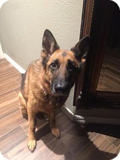 German Shepherd Dog Dog for adoption in Tampa, Florida - WONDER  (JW)