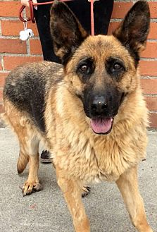 German Shepherd Dog Dog for adoption in Los Angeles, California - EMBER (video)