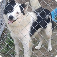 Adopt A Pet :: Cisco - Hagerstown, MD