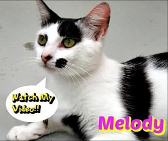 Domestic Shorthair/Domestic Shorthair Mix Cat for adoption in Sarasota, Florida - Melody