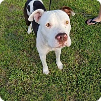 Adopt A Pet :: Sweets - East Hartford, CT