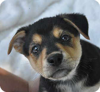 Shepherd (Unknown Type)/Husky Mix Puppy for adoption in Atlanta, Georgia - Grace