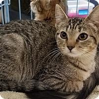 Domestic Shorthair Kitten for adoption in Tucson, Arizona - BK (Baby Kitty)